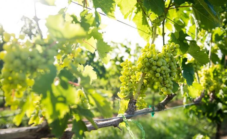 Wineries Of The Carolina's