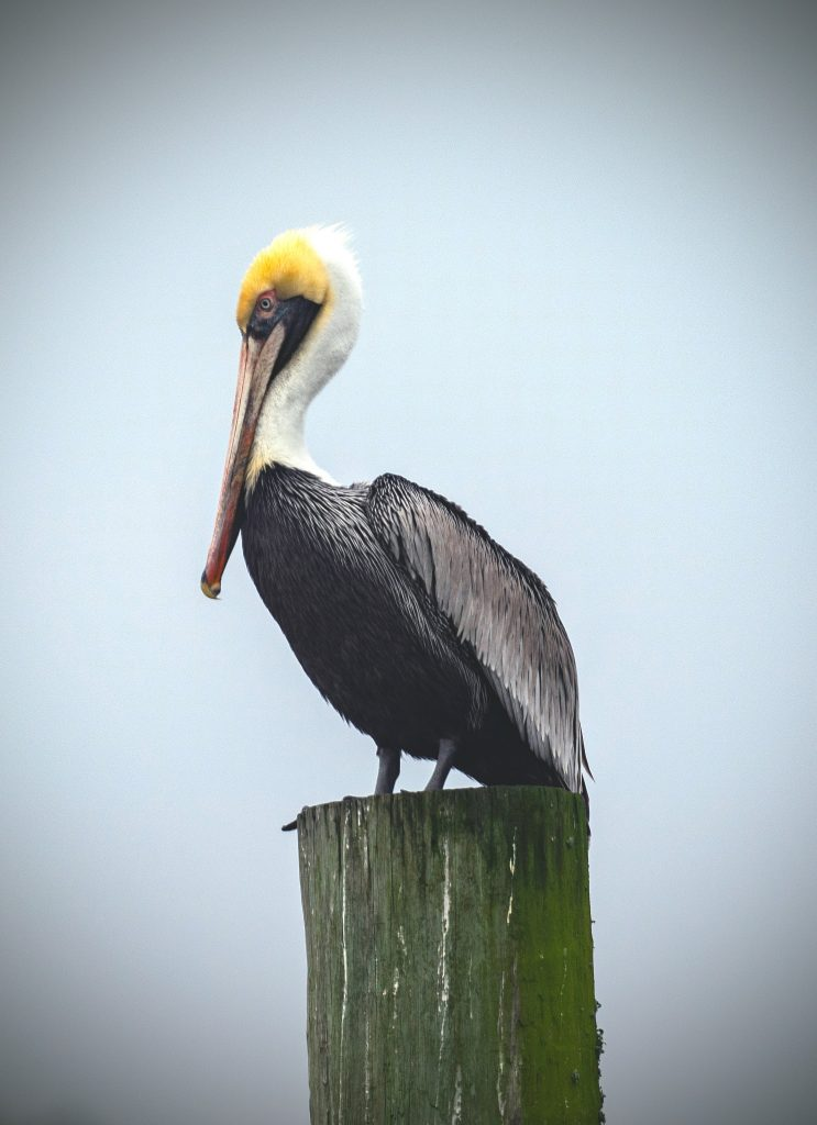 Pelican in Wilmington, NC and SC Beaches